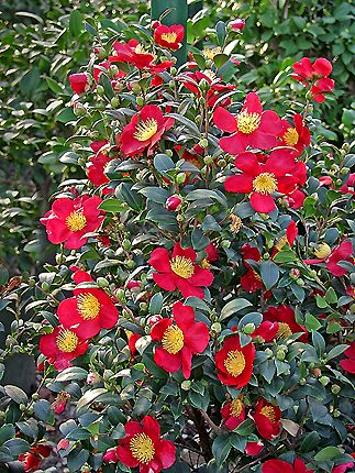 Camellia Sasanqua Yuletide This One Blooms Around Christmas But So Far I Haven T Had Much Luck With Mine Yuletide Camellia Winter Plants Camellia Plant
