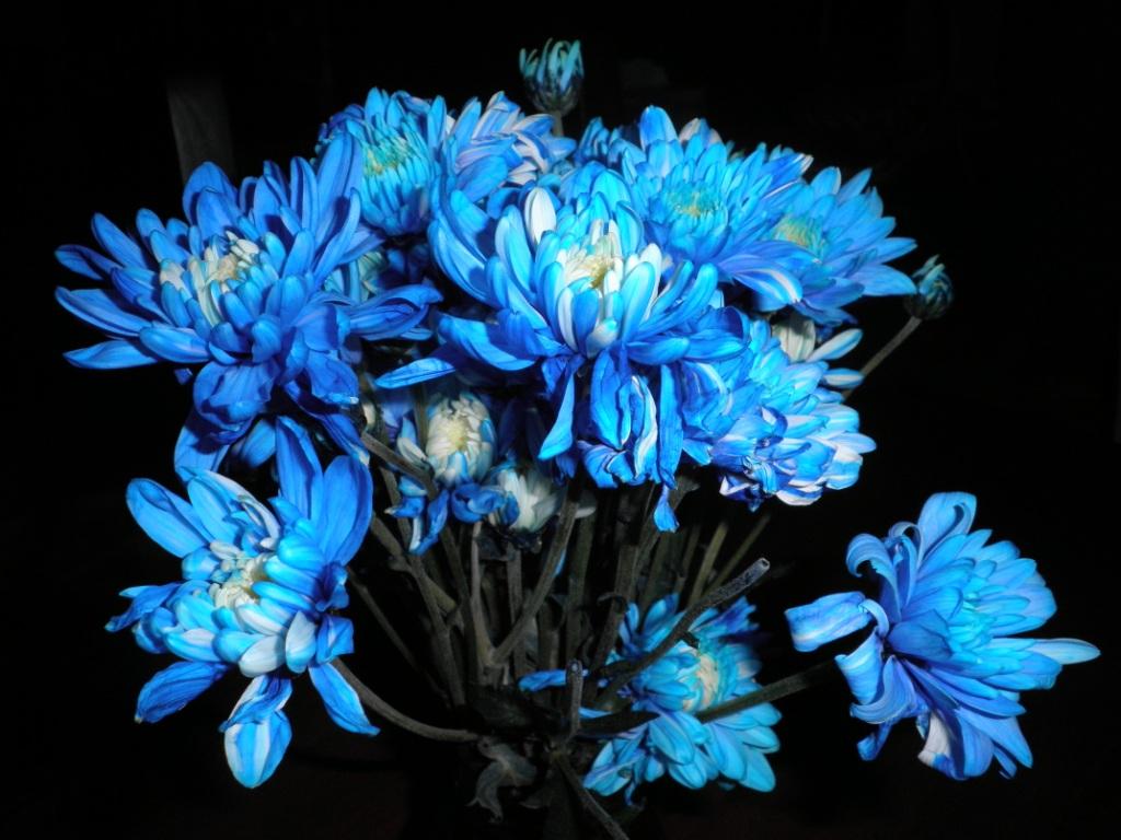 Chrysanthemum blue flowers chrysanthemum flower pinterest chrysanthemum blue flowers izmirmasajfo
