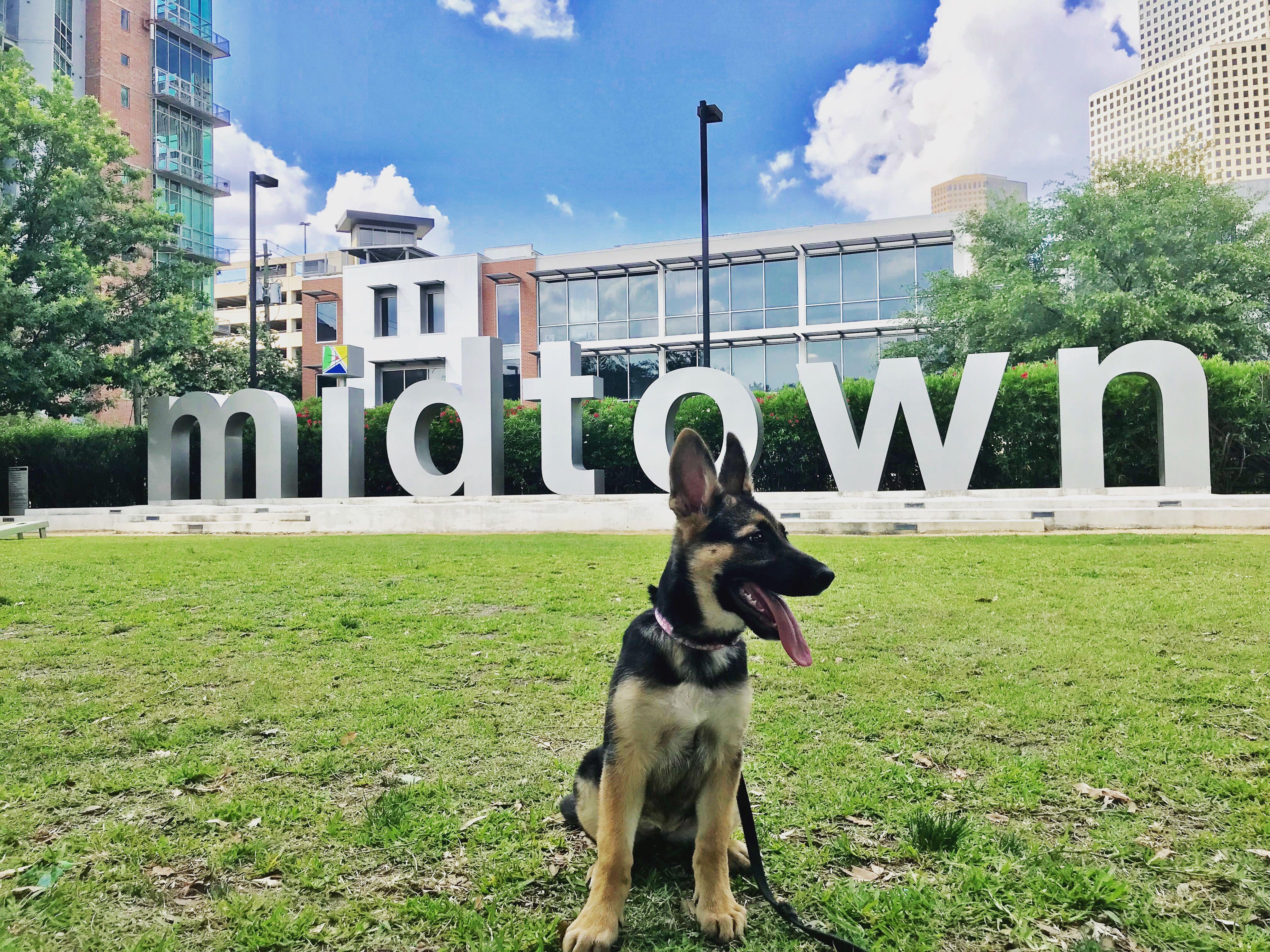 German Shepherd puppy, Houston, TX (12 weeks) German
