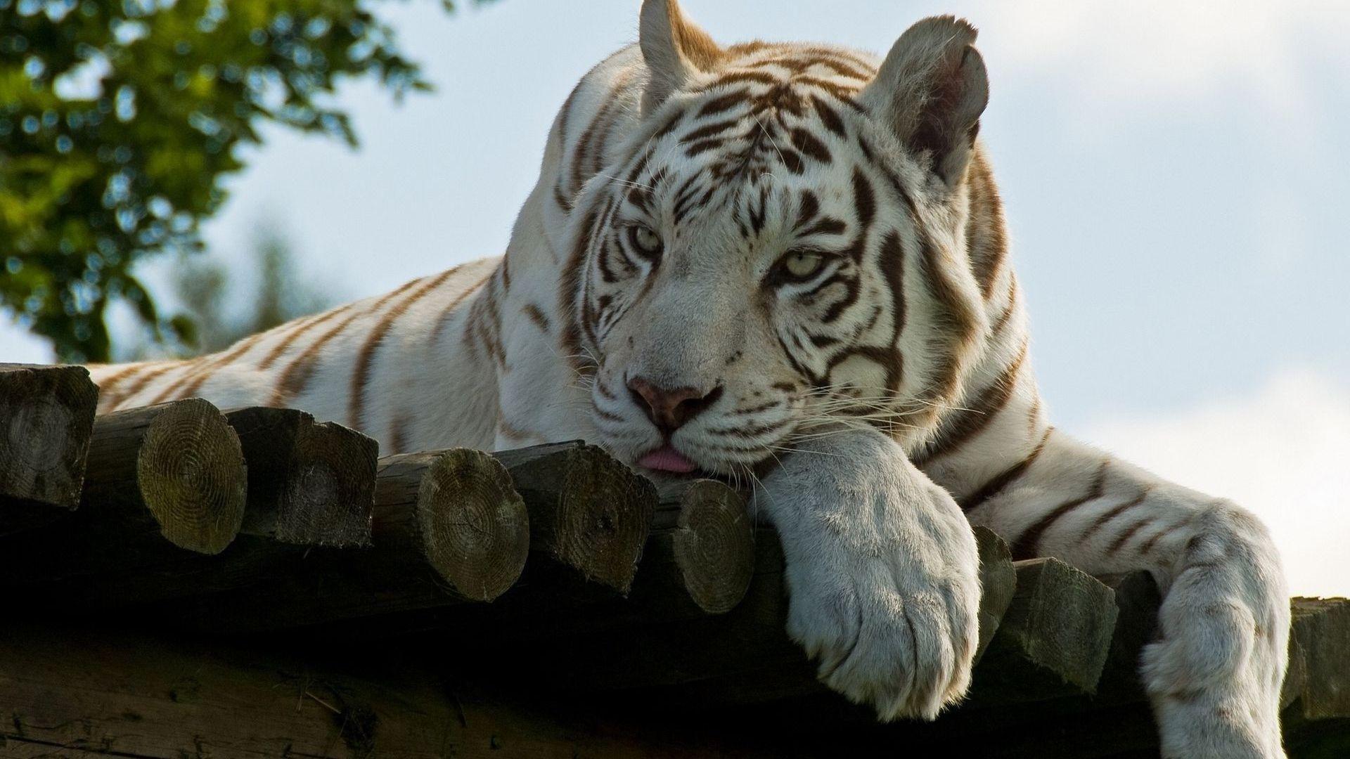 White Tiger Desktop Images