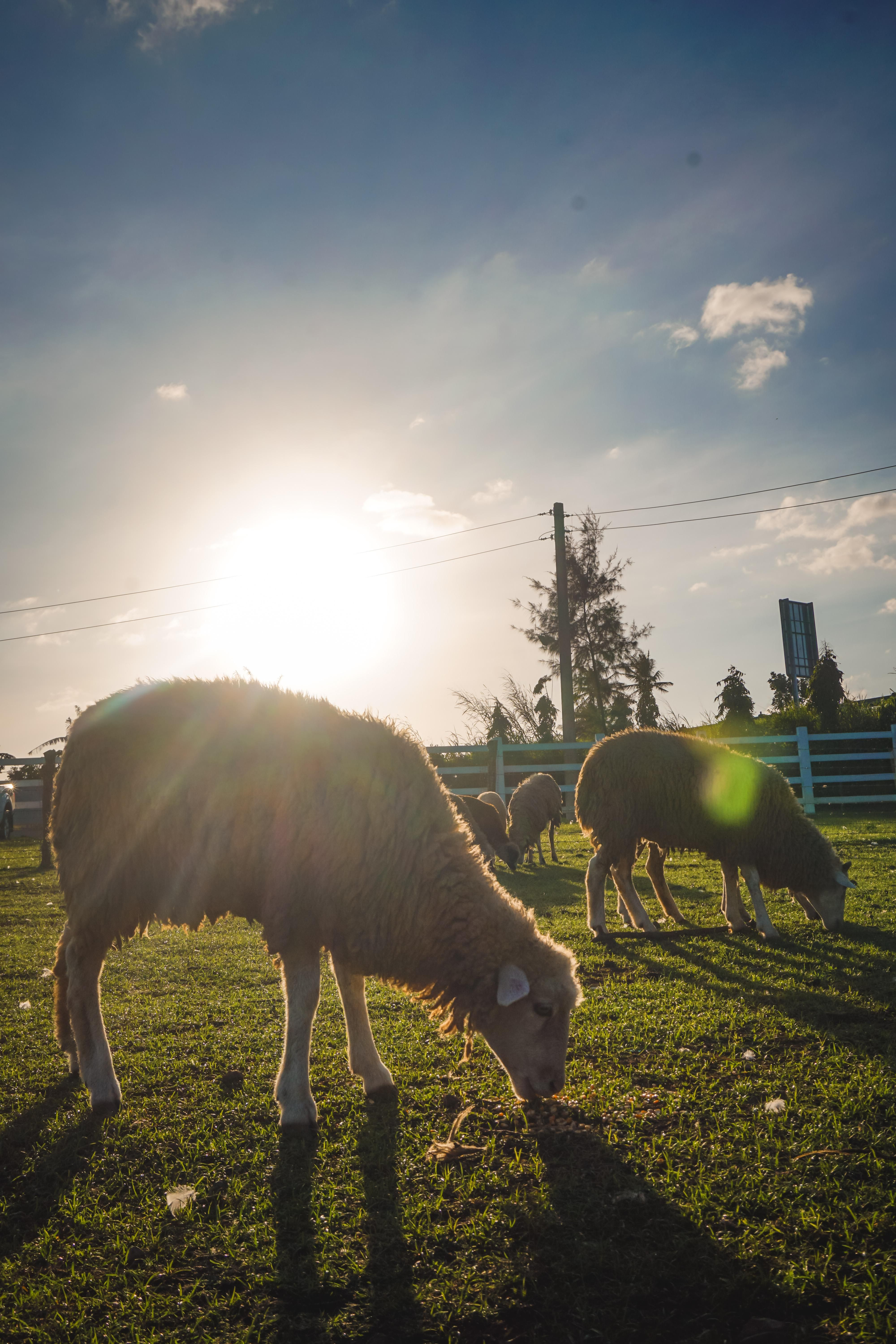 ITAP of sheep during golden hour.#PHOTO #CAPTURE #NATURE #INCREDIBLE