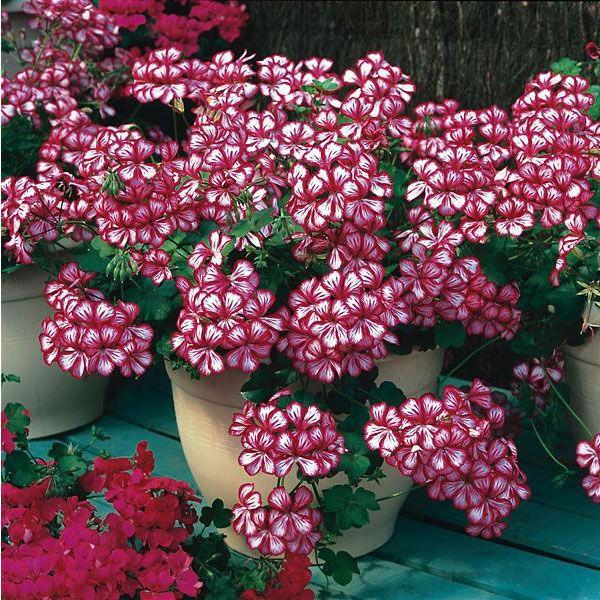 Martha Washington Geranium Seeds