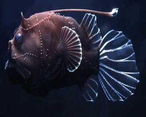 a deep-sea fish