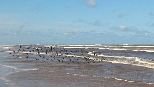 minha praia, meu quintal... litoral norte do rio grande do sul, brasil... após ressaca, os pássaros e aves tomaram a praia...