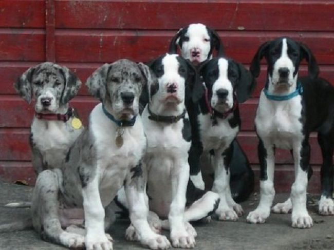 Newfoundland Great Dane Mix Puppies Zoe Fans Blog Great Dane
