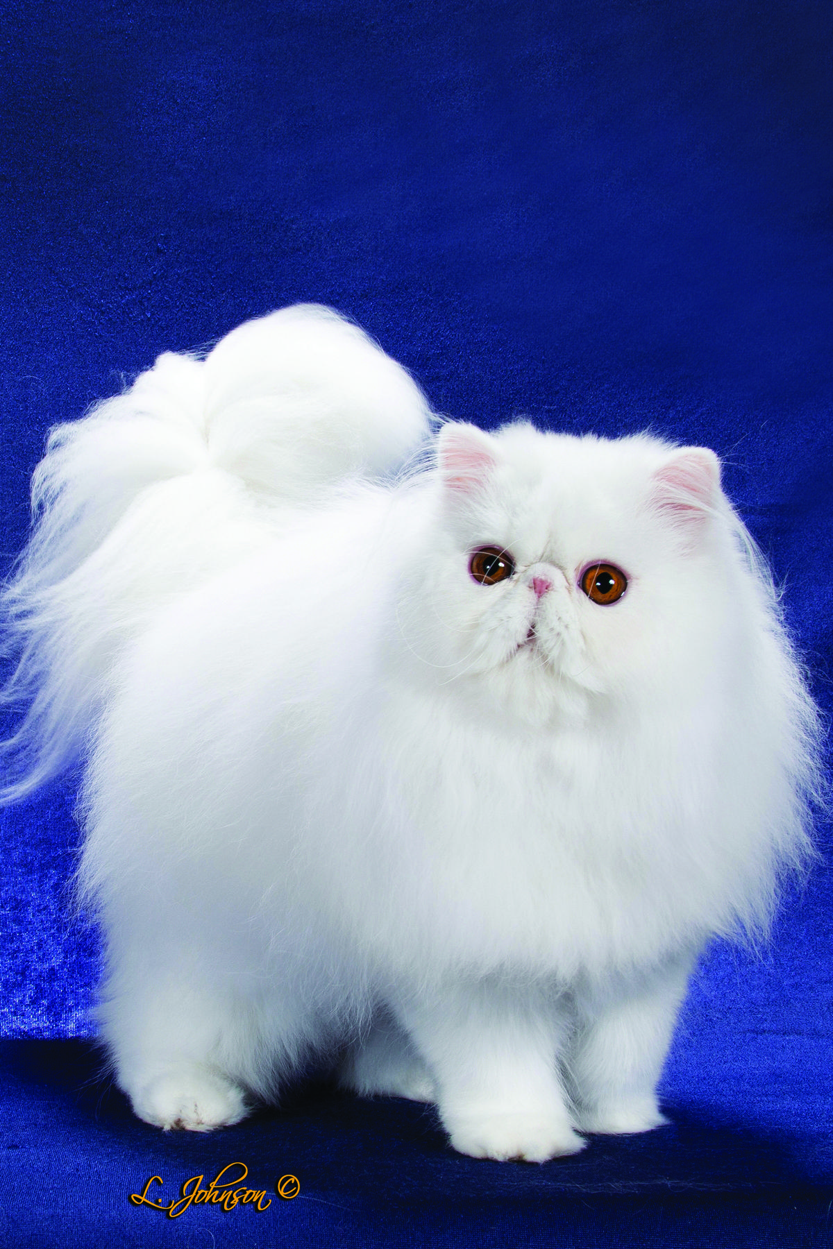 Красивые картинки персидских котят