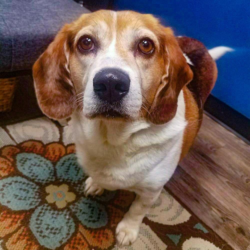 Beagle dog for Adoption in Arlington, VA. ADN542551 on