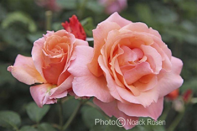 'Münsterland' – Noack (1986). Trosroos. Halfgevulde zalmroze (snij)bloemen (10cm). Intens parfum (bloemig, oosters). Glanzend, lederachtig, donkergroen blad. Opgaande struik met stevige takken. Goed resistent. 180cm x 90cm.