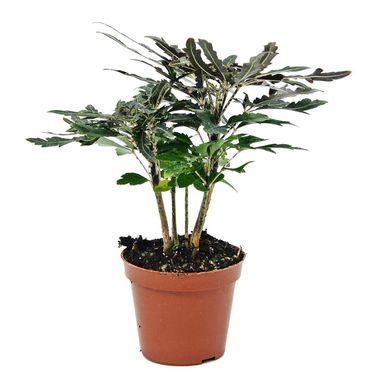 Dizygoteka Wytworna 20 Cm Kwiaty Doniczkowe W Atrakcyjnej Cenie W Sklepach Leroy Merlin Planters Plants Planter Pots