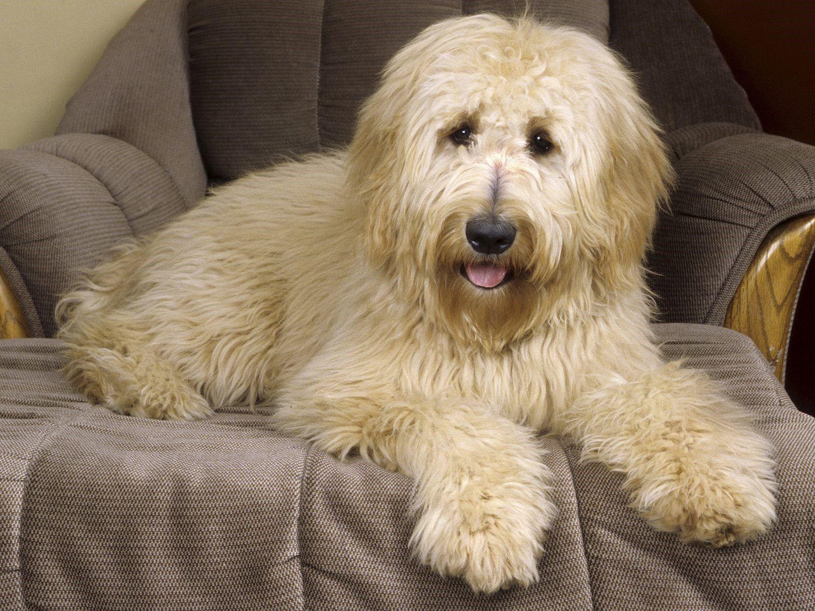 Australian Shepherd Golden Retriever Poodle Mix Google Search