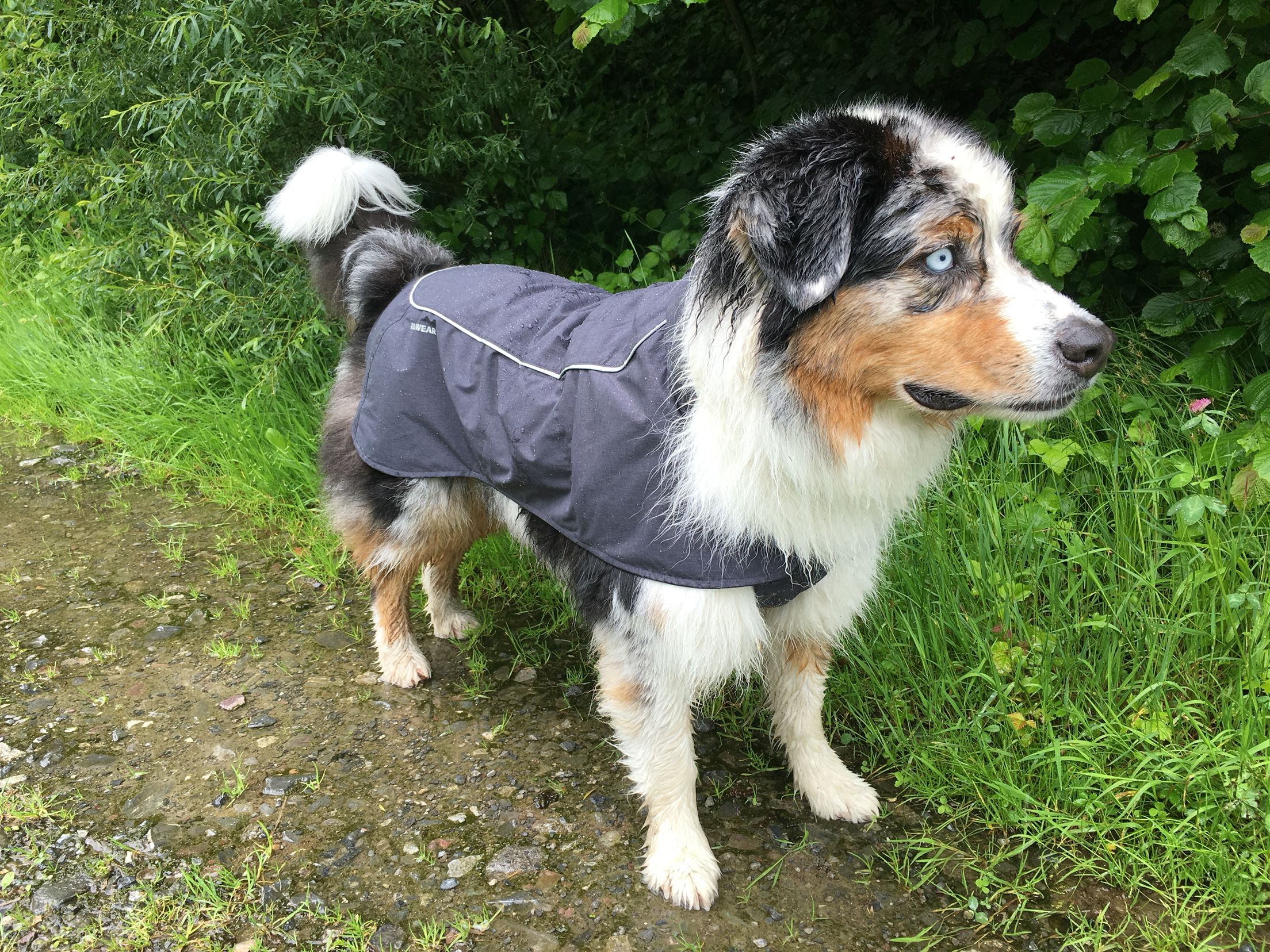 Timmy with his ever first Raincoat by Ruffwear