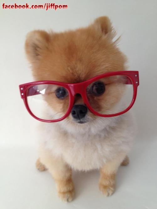 2593f267d4 glasses,glasses Perro Con Lentes, Fotos Tiernas, Perros Bonitos, Fotos De  Perros