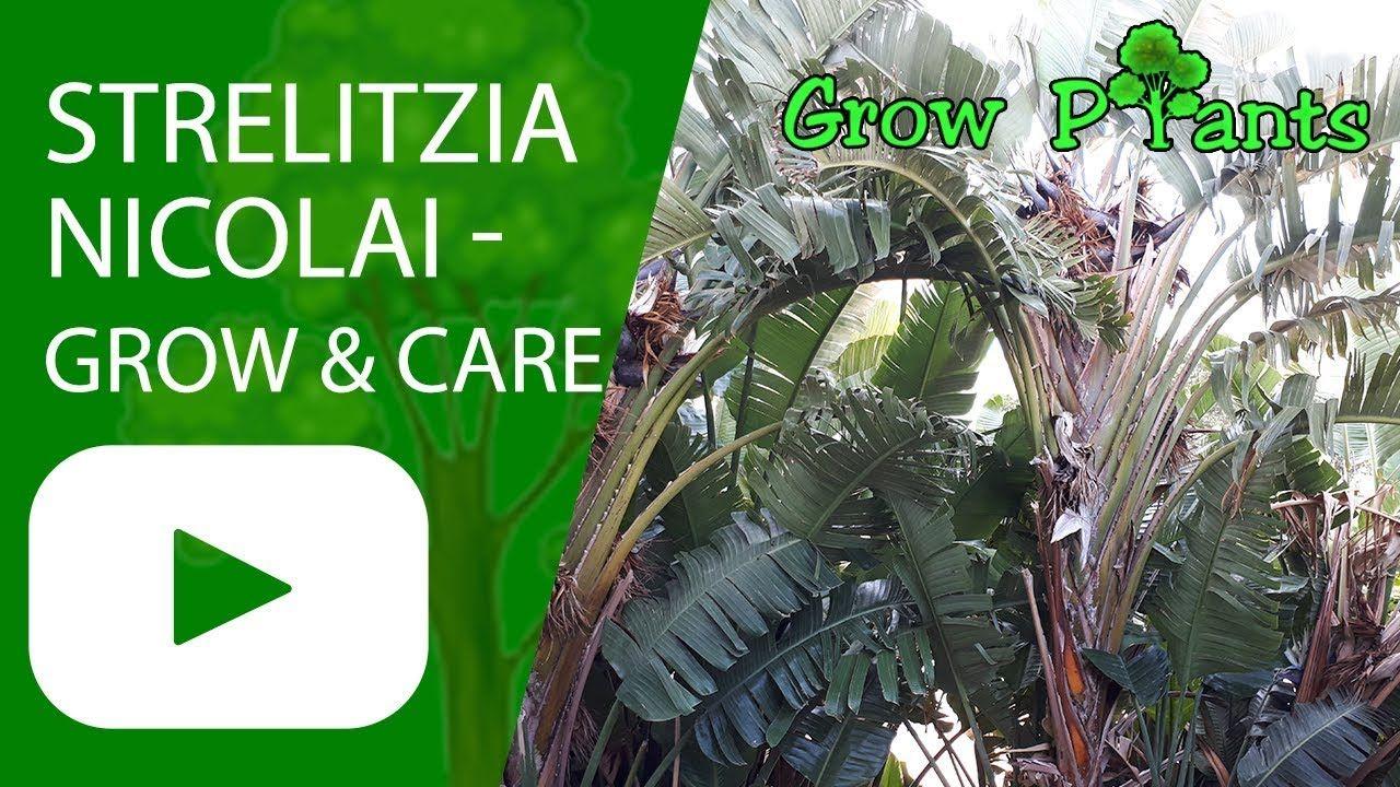 Strelitzia Nicolai Grow Care Bird Of Paradise Plant Plant Information Climate Hardiness Zone Paradise Plant Birds Of Paradise Plant Plant Information