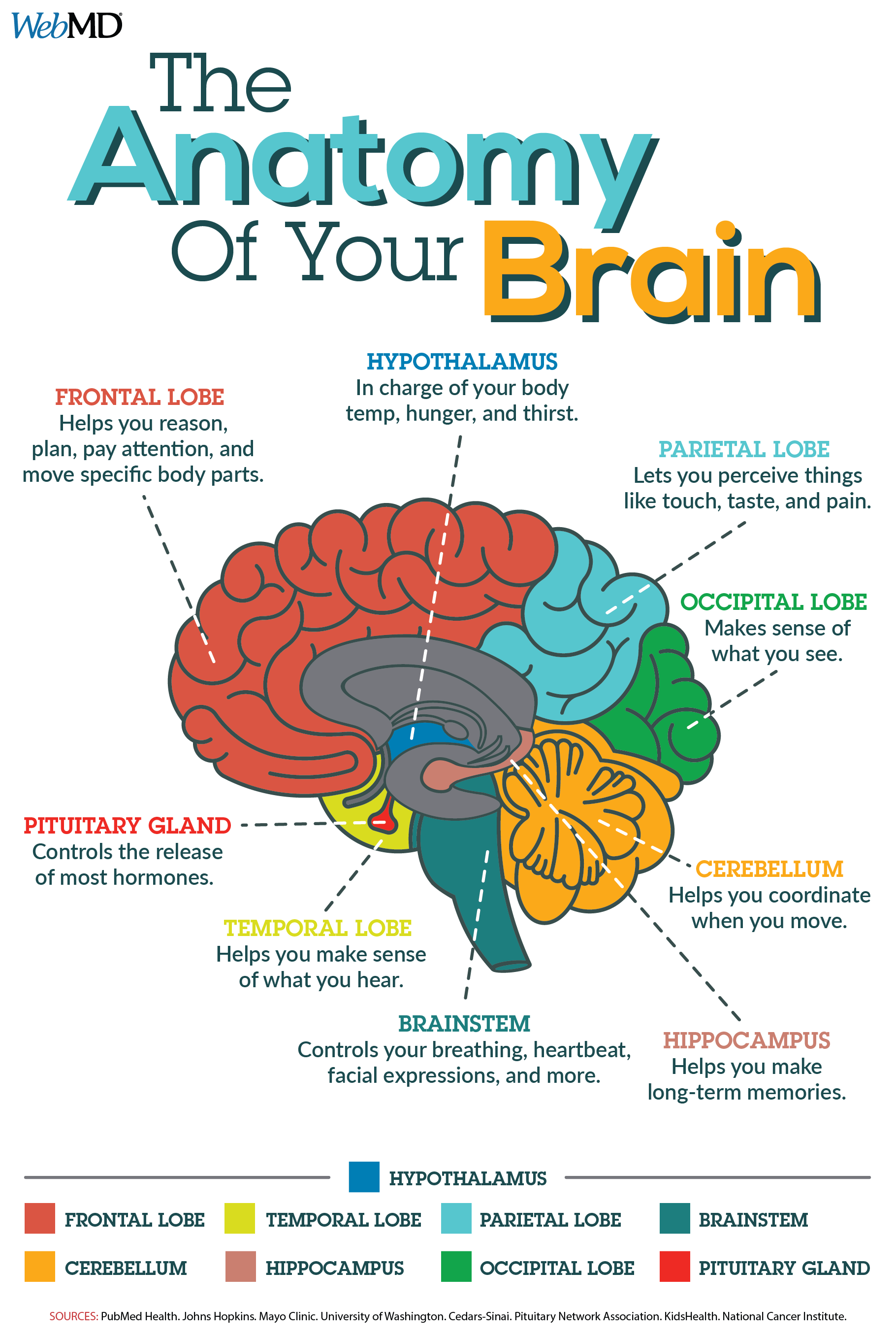 medium resolution of do you know what the main parts of your brain are responsible for human body