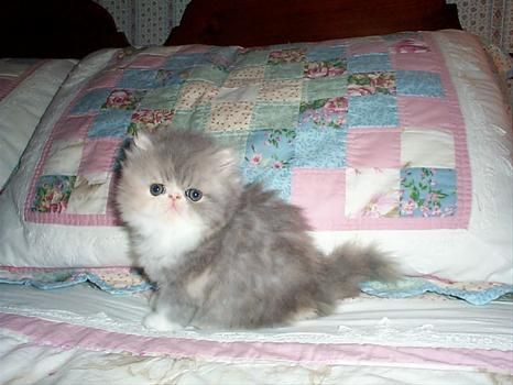Old Castle Persian And Himalayan Kittens And Cats Monson Ma Himalayan Kitten Kittens Cats
