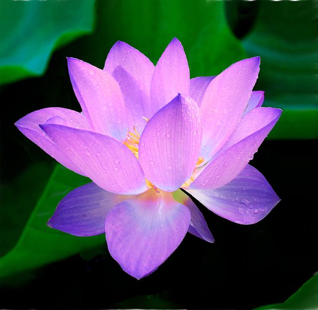 Image Gratuite Sur Pixabay Lotus Fleur Nymphaea Caerulea Une