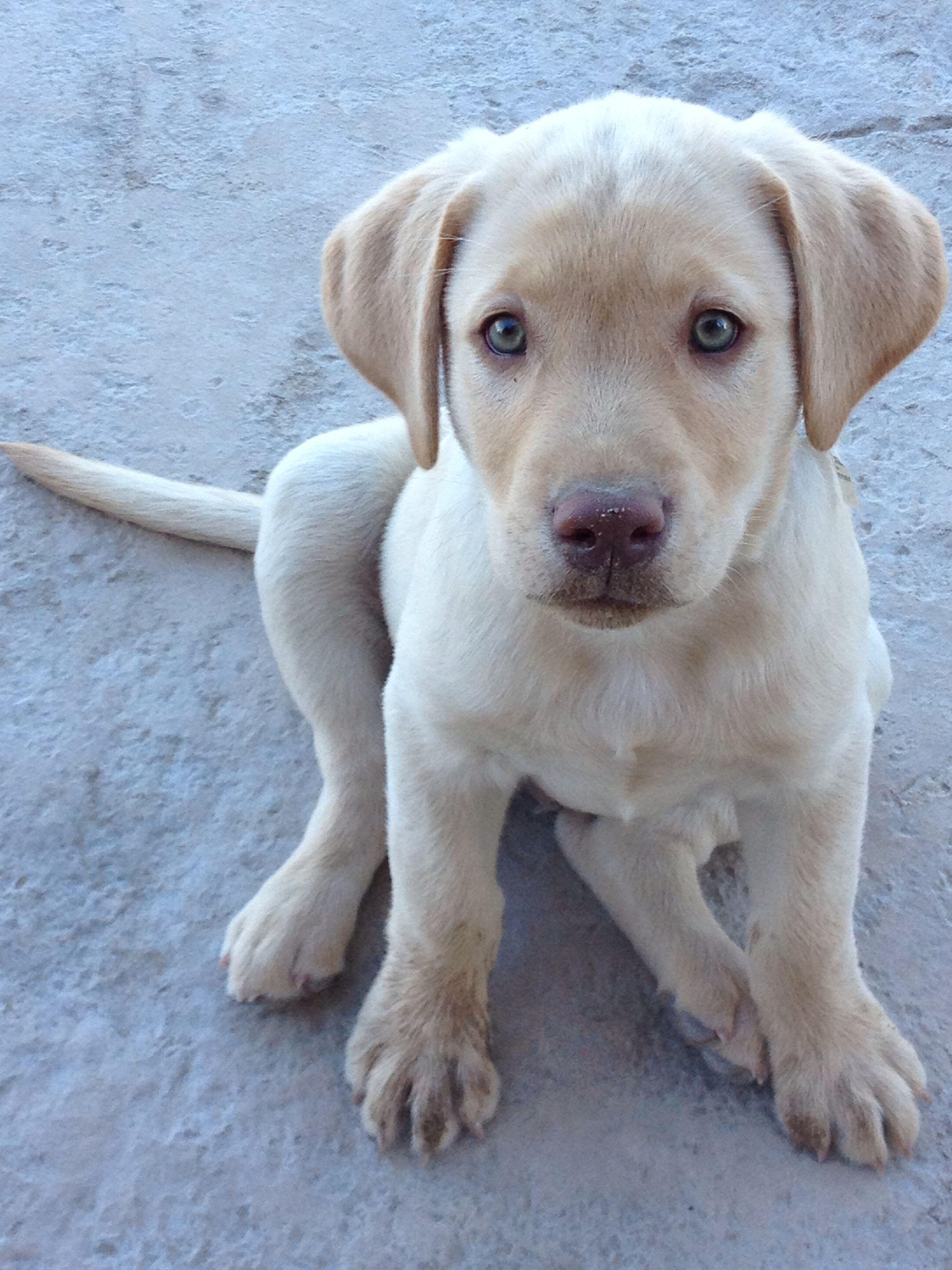 Bullet a green eyed , Yellow Labrador - Mountain Cur puppy ...