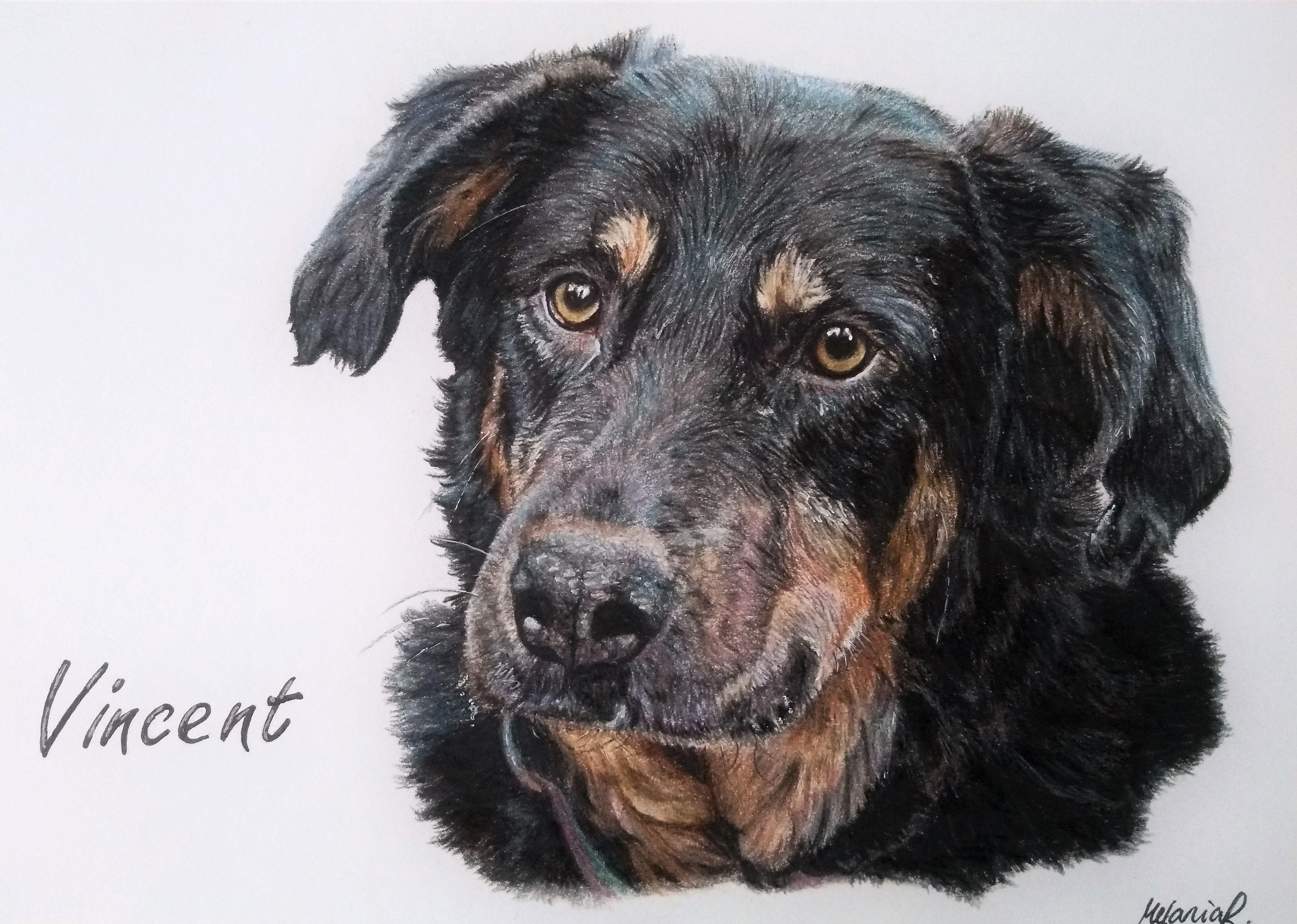 Hund Vincent Portrait Technik Buntstift Kohle Grosse Din