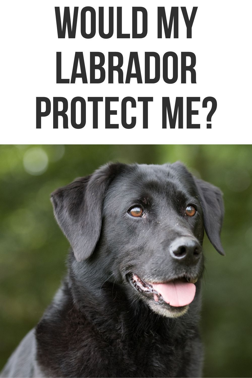 Would my Labrador protect me? in 2020 (With images