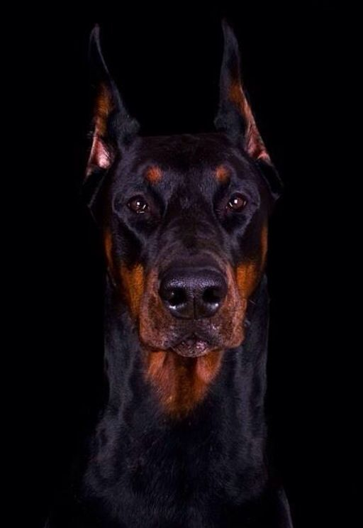Majestic Doberman From Wiki Originally Developed By Karl