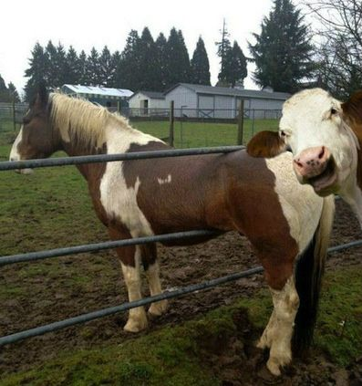 The best picture of a cow photobombing a horse stuck in a fence EVER ...