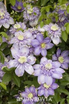 Clematis Blue Light Uspp 15953t For Garden Or Patio This Photo In August Show Fantastic Seed Pod The Large Violet Blue Double Clematis Clematis Vine Flowers
