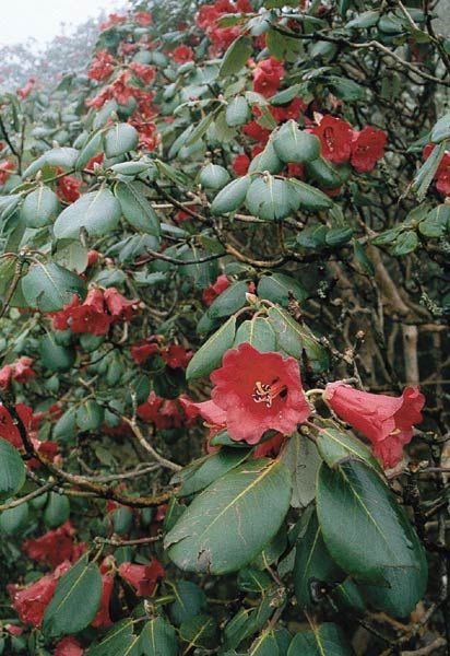 R. thomsonii, a red flowered rhododendron in the field.
