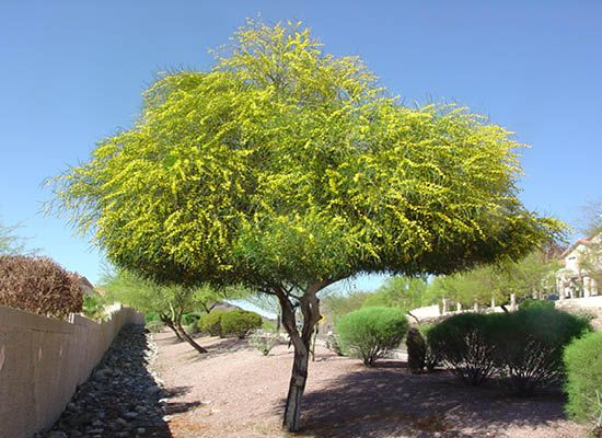 Acacia Saligna For Fast Growing Desert Trees Moon Valley Nursery
