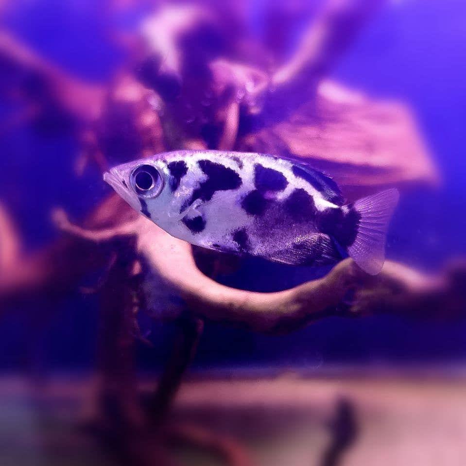Amazing Fresh Water Archerfish In 2020 Fish Pet Aquarium Fish Freshwater Fish