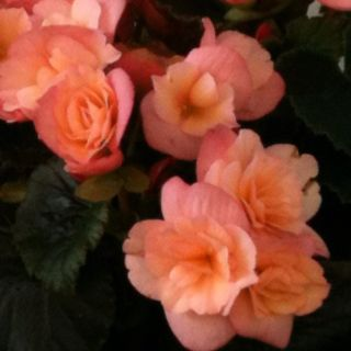Charming Peach Begonias From Petities Garden Center In Oakland Village Ohio