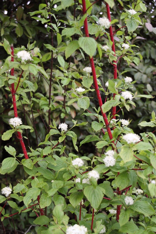 Plantenencyclopedie - Cornus alba sibirica ...