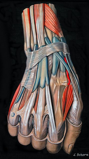 Drawing of the hand and wrist, circa 1900    By Elisa Schorn.