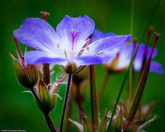 Geranium sp (chris.diewald) Tags: blue landscape bill purple meadow cranes wildflowers geranium schwarzwald blackforest storchschnabel geraniumpratense wiesenstorchschnabel