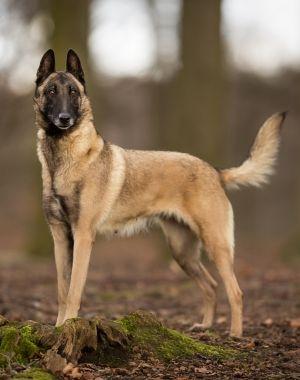 Dog Breed Guide Belgian Malinois Belgian Malinois Malinois Dog