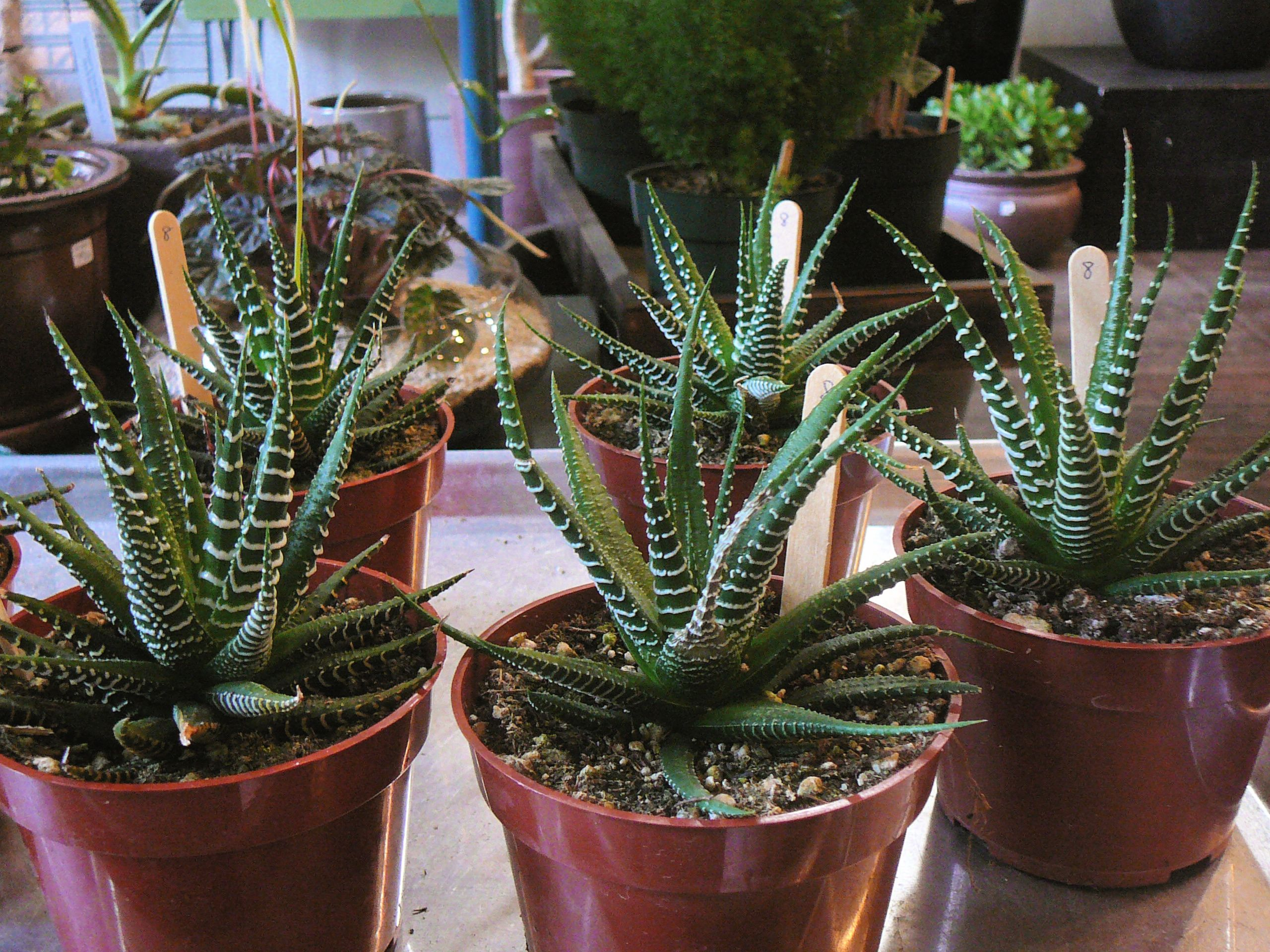 Haworthia Attenuata (Zebra Plant) - The Palm Room