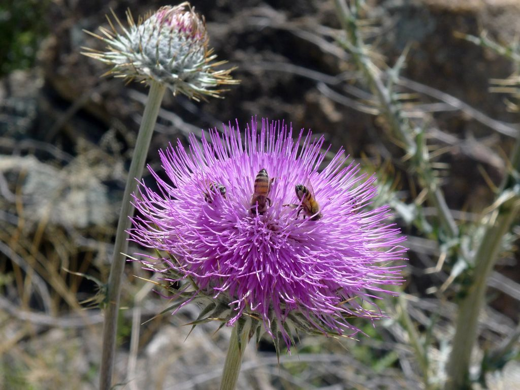 Thistle Plants, Thistle, Canyon