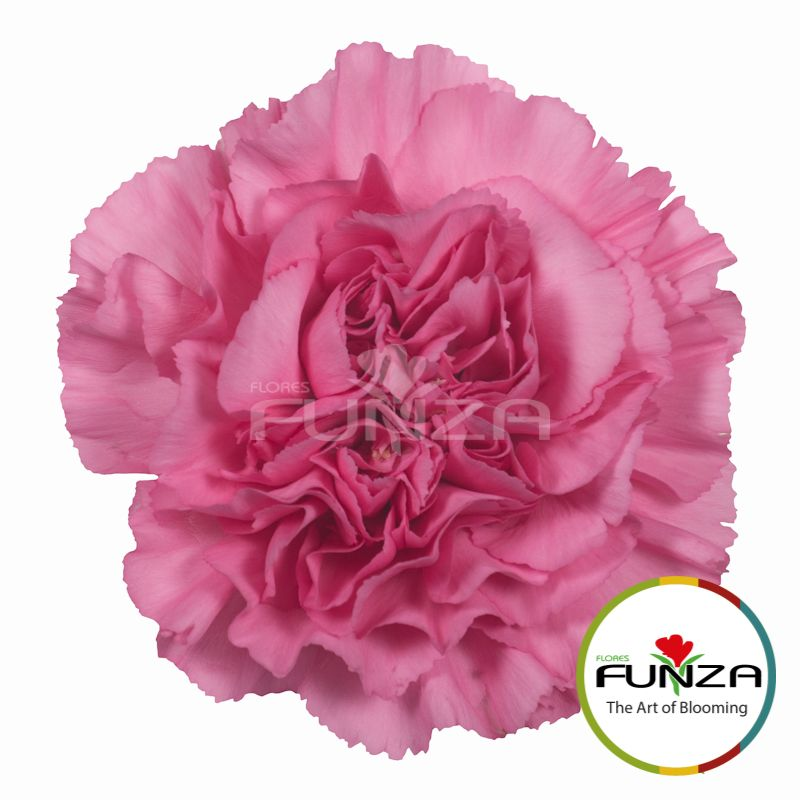 Lavender Carnation From Flores Funza Variety Pascoli Availability Year Round Carnations Flores Kidswear