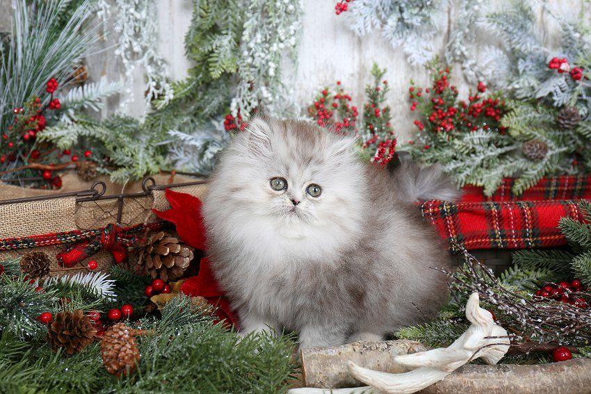 Portia Click Here Persian kittens, Teacup persian
