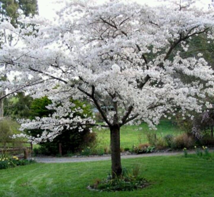 White Cherry Blossom Tree Flowering Plum Tree Tree Seeds Part Shade Plants