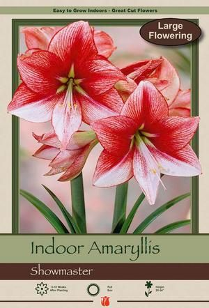 Amaryllis Hippeastrum Large Flowering Showmaster From Netherland Bulb Company Some Foliage May Surround A Thick Ste With Images Bulb Flowers Amaryllis Amaryllis Bulbs