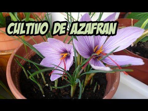 cultivo de azafrán   la huerta de ivan - youtube   ciencias y