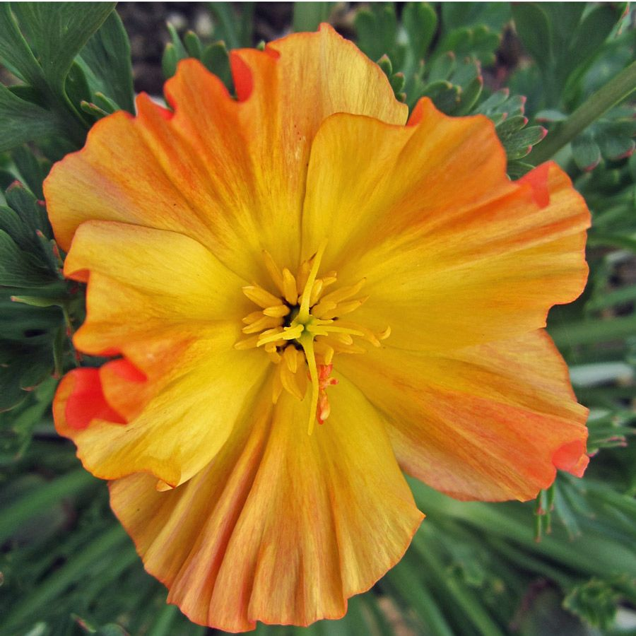 CALIFORNIA Poppy Apricot Chiffon