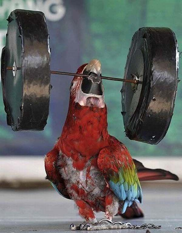 Funny Weight Lifter Parrot Will Blow Your Mind Funny Parrots