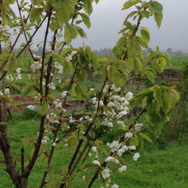 Cherry Blossom On Sapling Saplings Cherry Blossom Blossom