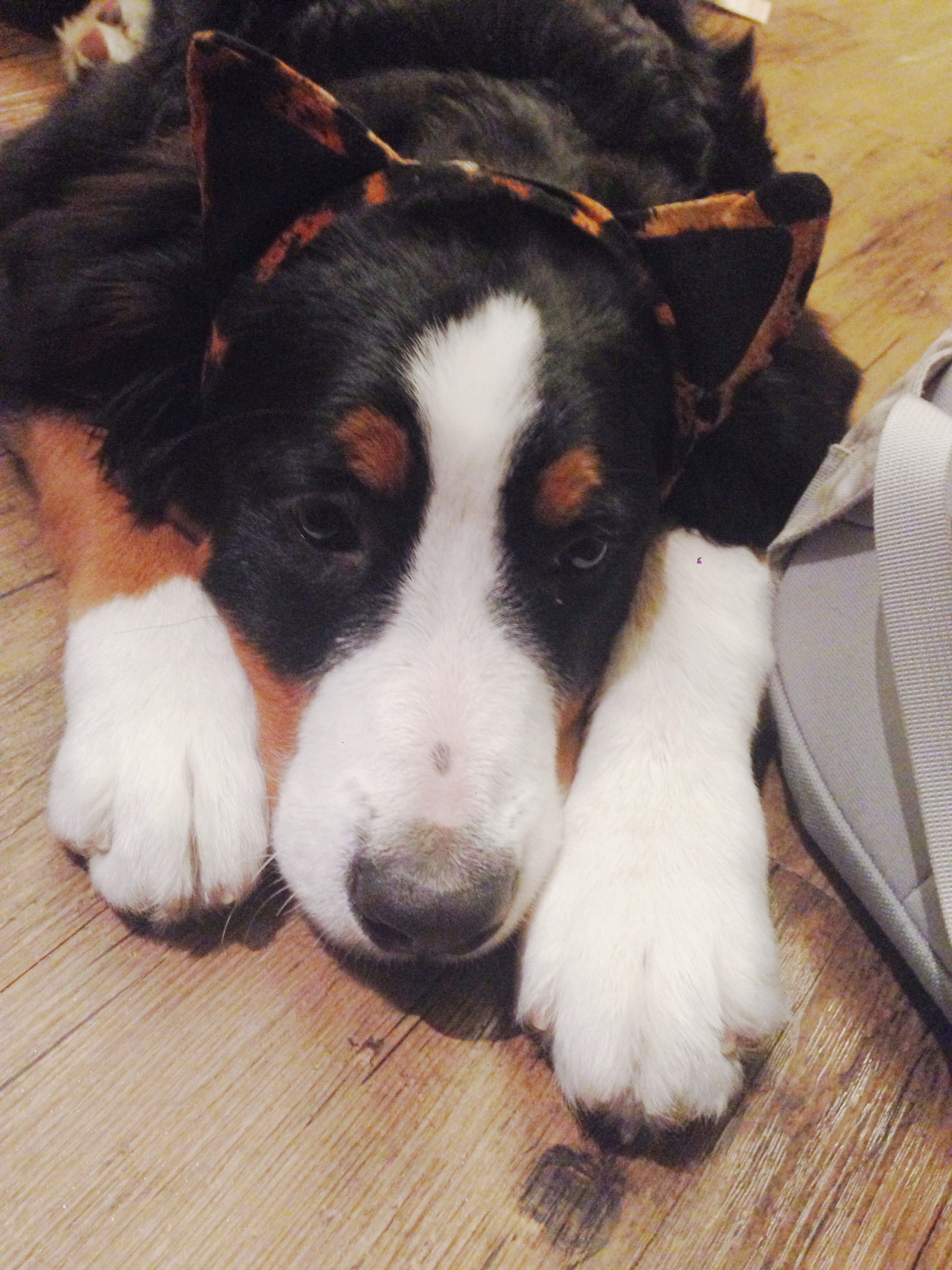I Love My Bernese Mountain Pup Echo Especially When She Has Cat