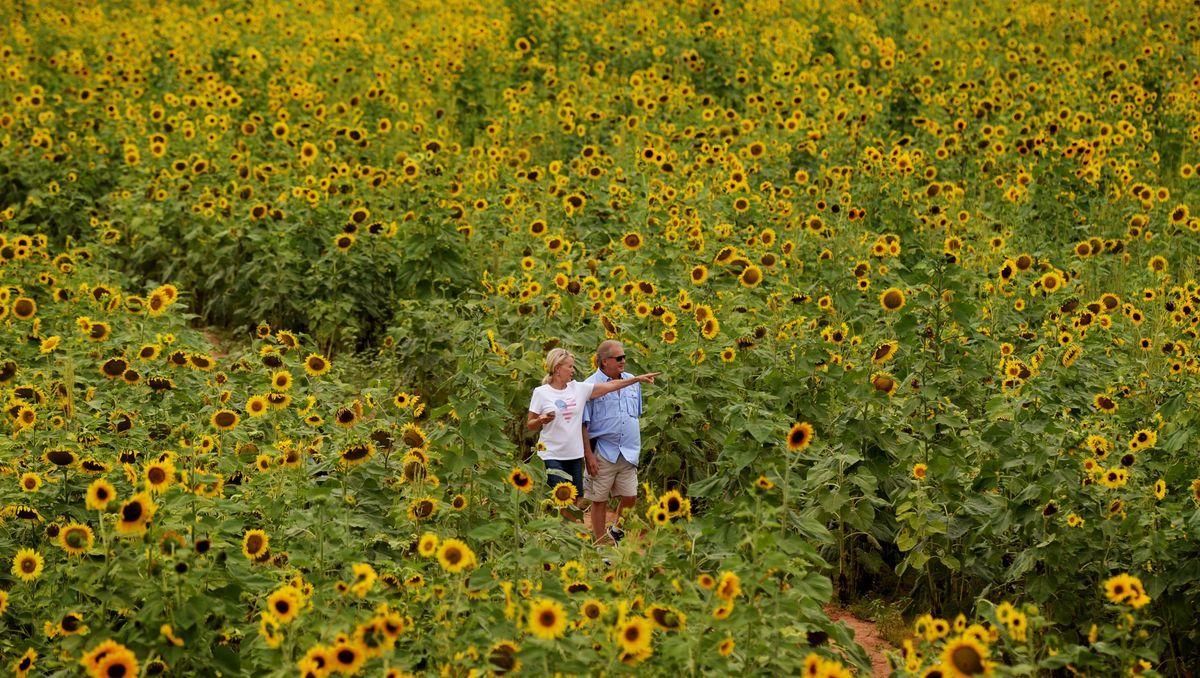 Golden sunflowers fill north Caddo Parish highways