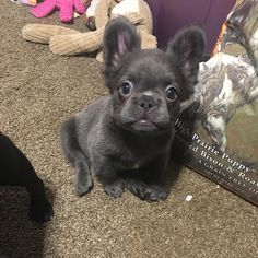 Meet Fozzy The Fluffy French Bulldog Cute Little Animals Cute