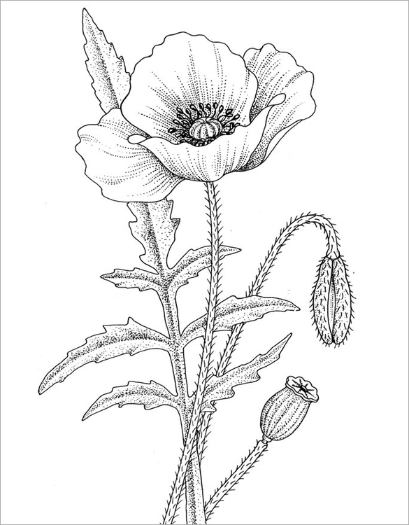 18 Poppy Coloring Pages Pdf Jpg Poppy Drawing Poppy Coloring Page Flower Drawing