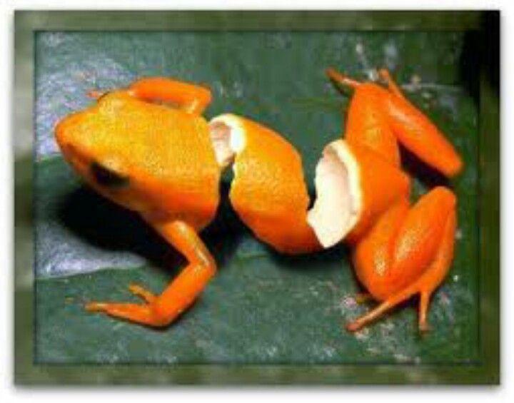 orange peeled frog