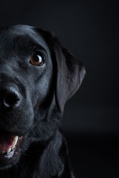Labrador Retriever Intelligent And Fun Loving Schwarzer Labrador Hunde Schwarze Hunde